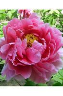 Пион древовидный темно-розовый Suff chojuraku / Саф чожураку / 1 корневище