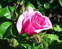 Роза «Романсе». Парковая роза., фото 1