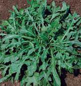 Рукола Гиудита Коуэл (Hortus Италия) 1 кг