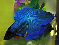 Аквариумная рыбка Петушок  обычный