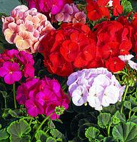 Pelargonium hortorum, пеларгония садовая - BullsEye™, Сингента - 1000, 500, 250, 100 семян
