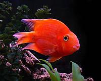 Аквариумная рыбка трехгибридный попугай