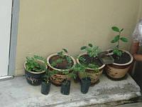Рассада растений Тонгкат Али