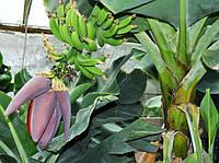 Банан (Musa Dwarf Cavendish) Комнатный