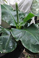 Банан Киевский Суперкарлик 20-30 см., фото 1