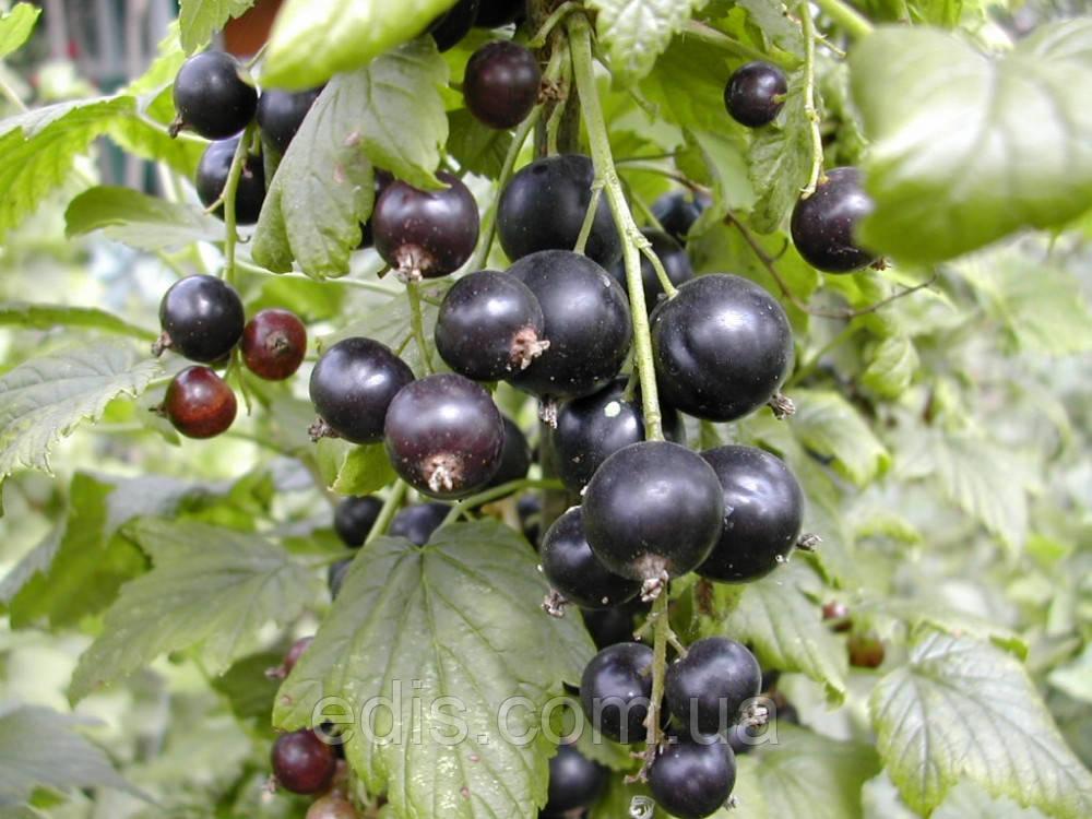 Смородина черная Оджебин (среднеспелая)