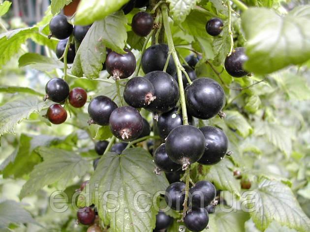 Смородина черная Оджебин (среднеспелая), фото 2