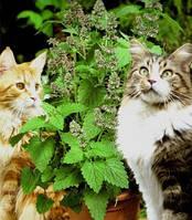 Котовник кошачий, кошачья мята / Nepeta cataria