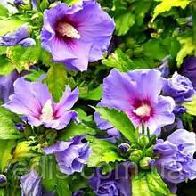 Гібіскус деревовидний Фіолетовий