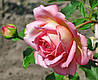 Роза Джубили  Селебрейшин. Английская роза.