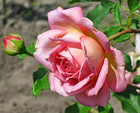 Роза Джубили  Селебрейшин. Английская роза.  , фото 1