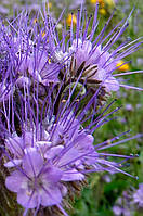 Семена - Фацелия (трава медонос, сидерат)  1кг