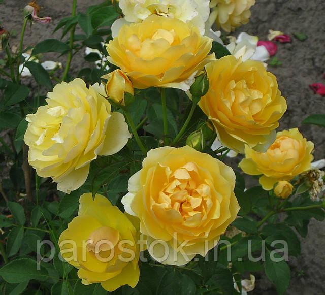 Роза Грахам Томас. Английская роза.