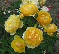 Роза Грахам Томас. Английская роза., фото 1