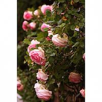 Саженцы вьющейся розы Sharika-Asma