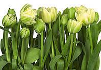 "Фотообои Komar ""Тюльпаны"" Tulips 8-900"