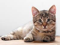 Вітаміни для котів з кальцієм впливають на нервові функції організму кішки