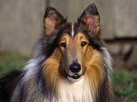 Демодекоз у собак - захворювання, що викликається кліщами роду Demodex