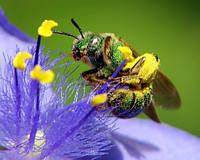 Хвороби та лікування бджіл