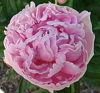 Пион высокорослый Pink Supreme (Пинк Суприм)