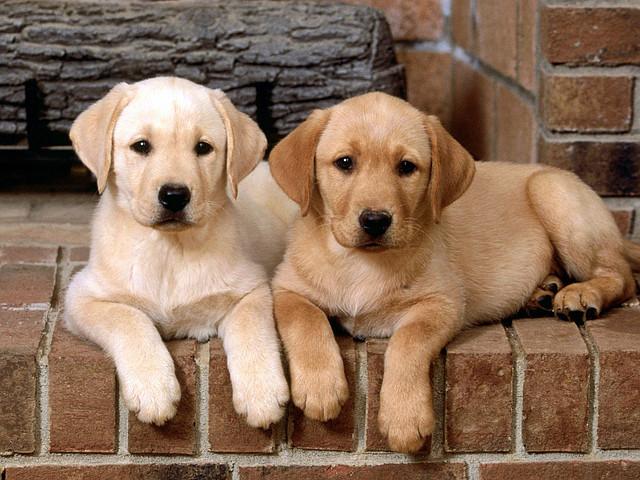 Кліщ у собак - піроплазмоз. Як уникнути укусу кліща.