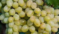 Виноград Благовест, саженцы двухлетние