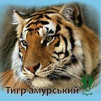 """Магніт квадратний """"Тигр амурський. Рівненський зоопарк"""" 60х60 мм"""