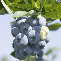 Черника Торо (крупная ягода)
