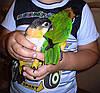 черноголовый белобрюхий попугай черношапочный каик pionites