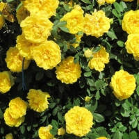 Роза парковая (шраб) Консуелла (Konsuella)