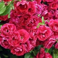 Роза Фламентанз (Flammentanz)