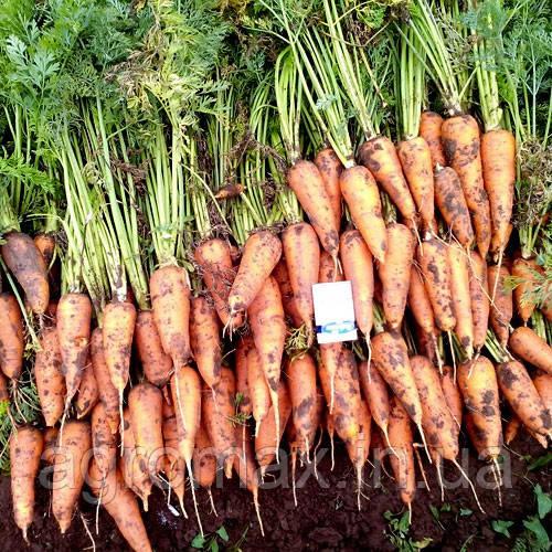 Морква Роял Шансон 0,5 кг Rem seeds