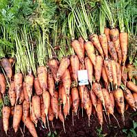 Морковь Роял Шансон 0,5кг Rem seeds
