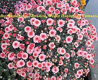 Хризантема черенок  мультифлора Азенда, фото 1
