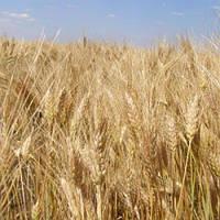Насіння озима пшениця Шестопалівка 1р.