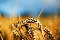 Семена озимой пшеницы Смуглянка 1р.