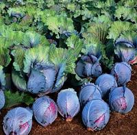Семена капусты Рокси F1, Seminis 2 500 семян