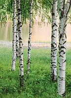Фотообои бумажные на стену 183х254 см 4 листа: природа, Березовая роща