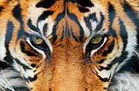 Фотообои бумажные на стену 115х175 см 1 лист: Тигр