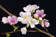 Фотообои бумажные на стену 115х175 см 1 лист: Цветы вишни  №627