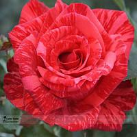 """Роза  """"Ред интуиция"""""""