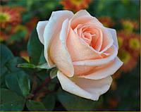 "Роза ""Осиана"""