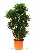 Комнатное растение Драцена (большая)