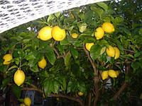 Лимон комнатный Лисбон (не требует прививки) - укоренённый черенок