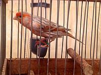 Кенар - Красный Агат (Блэк мозай ), фото 1