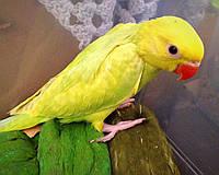 Ожереловый попугай - выкормыш