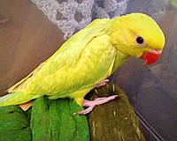 Ожереловый папуга выкормыш (жовтий)