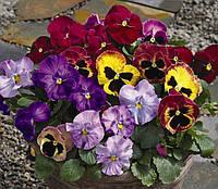 Viola x wittrockiana, Виола витрокка - Karma™ F1, Сингента (Goldsmith Seeds) - 1000, 500, 250, 100 семян