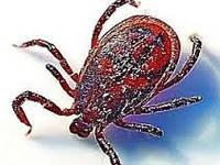 Осторожно, клещи: как не стать жертвой паразита