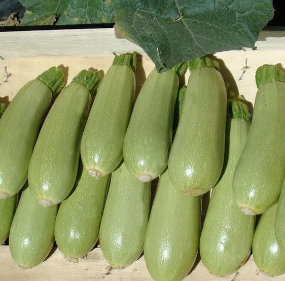 Семена кабачка Асма F1, Clause 500 семян,  для ранней продукции весной в пленочных укрытиях и открытом грунте